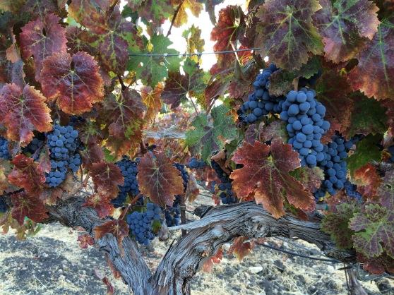 gorgeous grape shot