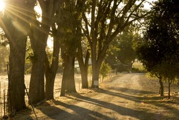 oaks line the streets 2