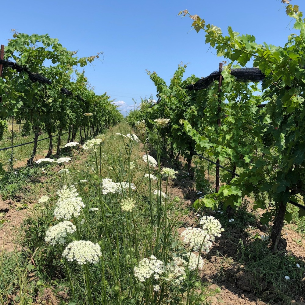 Queen Anne's Lace Southbrook Vineyards amustreadblog