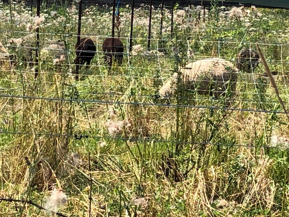 Sheep Southbrook Vineyards amustreadblog