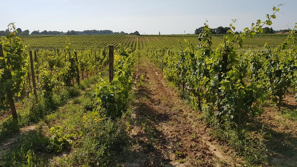 château Falfas vineyard amustreadblog