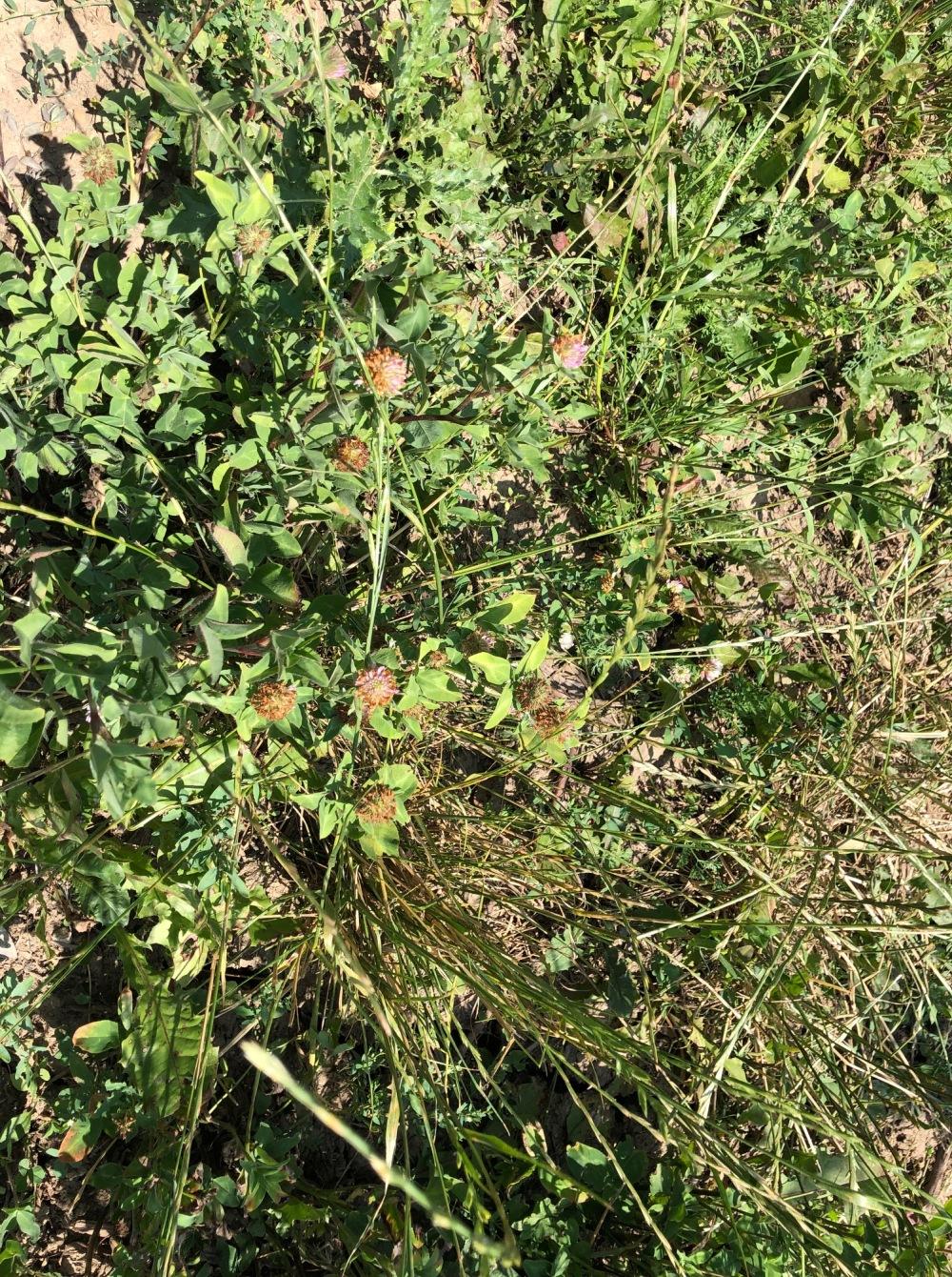 clover cover crop amustreadblog