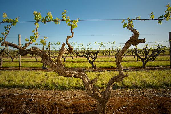 kaesler-wines-home-page-vineyards