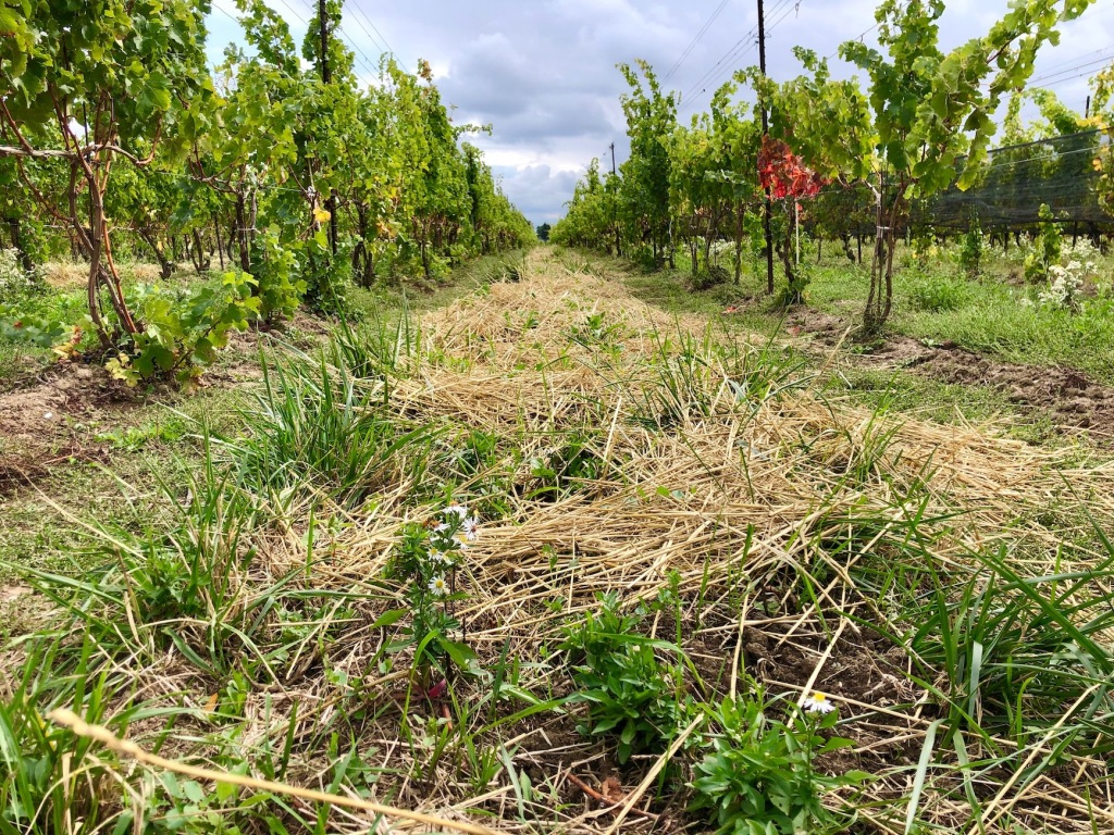 hay covering grass and soil in a vineyard