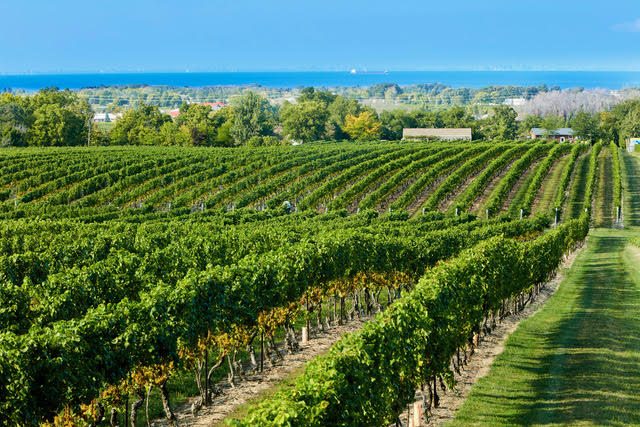 The view of Lake Ontario from Cave Spring Vineyard