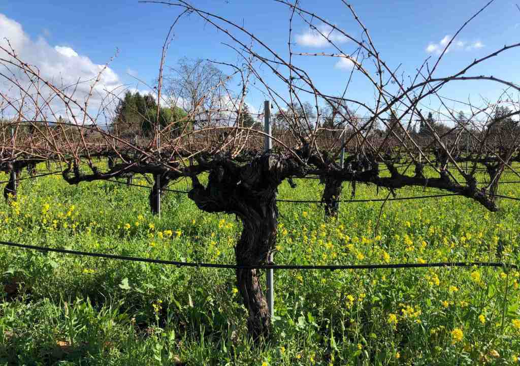 beautiful, stately 50 year old vine