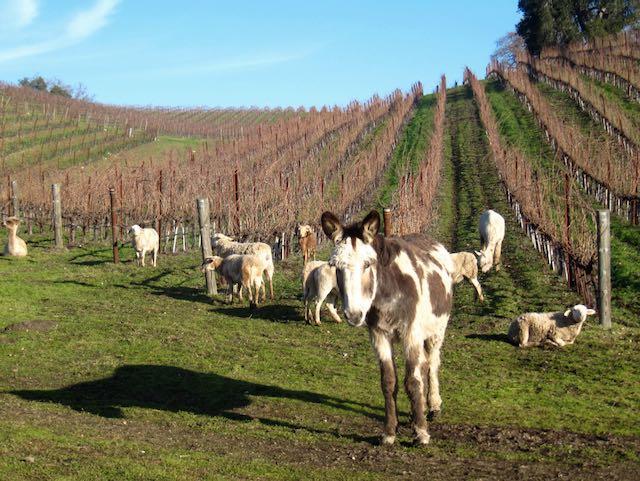 Donkey and sheep in vineyard