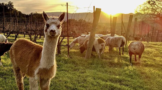 Alpaca and sheep in vineyard with setting sun