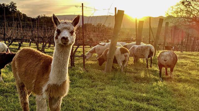 Alpaca and sheep in vineyard with setting sun