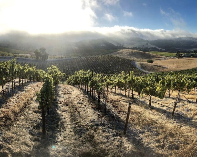 vineyard with sun rising