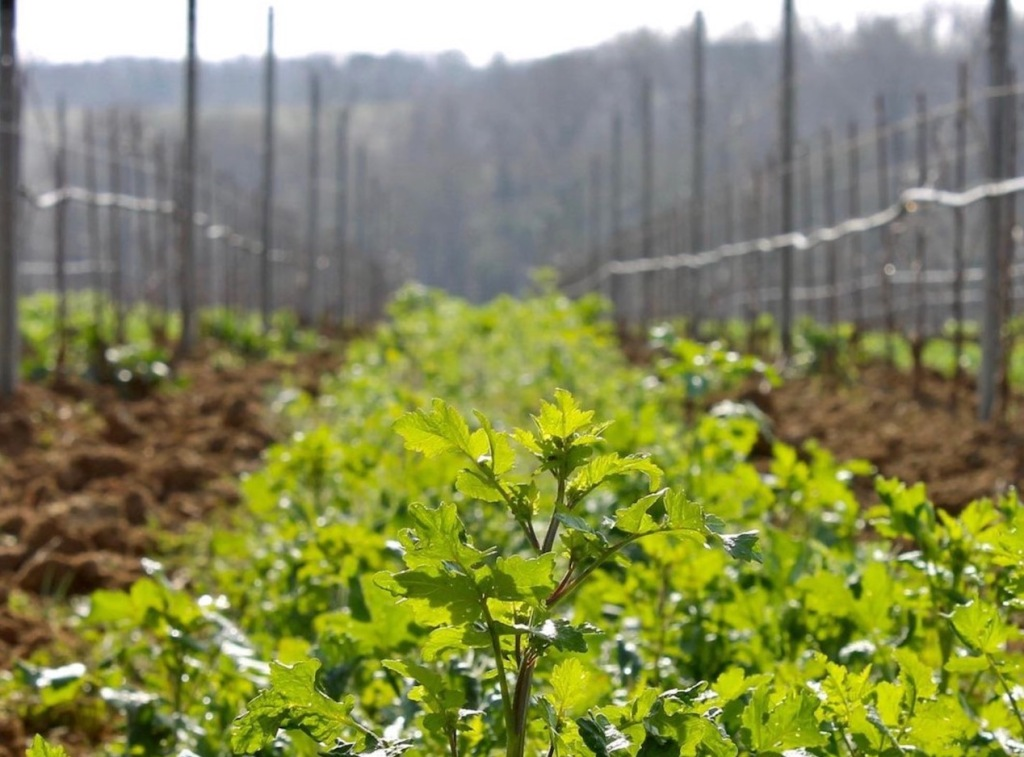 healthy cover crop picture with beans and grasses between rows of vines